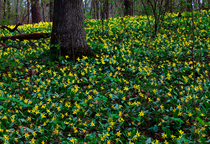 Yellow Trout Lilies - Ouachitas of Arkansas - March 27, 2017