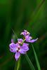 Grass Pink Orchids