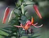 Turk's Cap Lily - Ouachitas of Arkansas