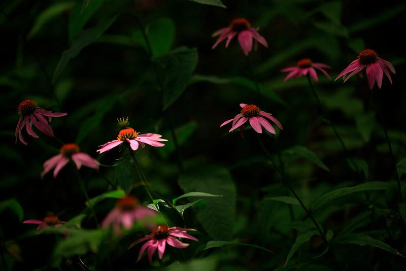 Pink Cone Flowers in Clump - Ouachitas near Little Missouri