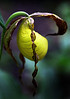 Kentucky Lady Slippers - Cossatot - May 2013