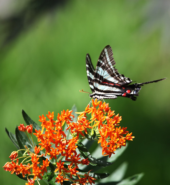 Butterfly Weed - Ouachitas of Arkansas