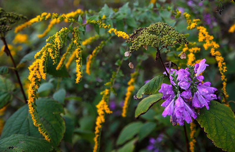 Bouquet of Wildflowers - Physostegia, Wild Hydrangea, and Yellow Ironweed - Ouachitas of Arkansas - Sept 22, 2015