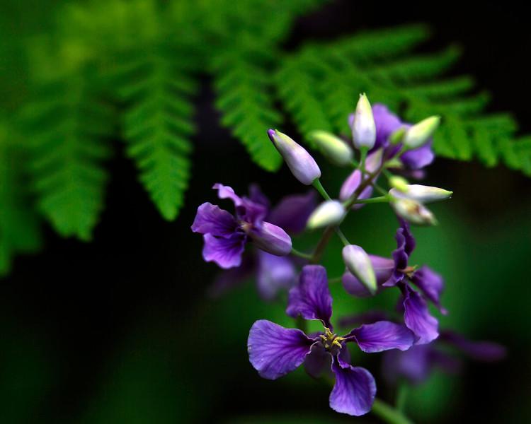 Twist Flower - Oauchits of Arkansas