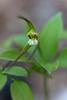 Large Whorled Pagonia -   Rich Mountain - Ouachitas of Arkansas