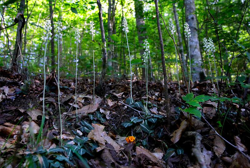 Rattlesnake Plantain Orchids - Ouachitas of Arkansas - Aug 2016