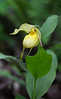Lady Slippers - Buffalo National River Area - Spring 2018