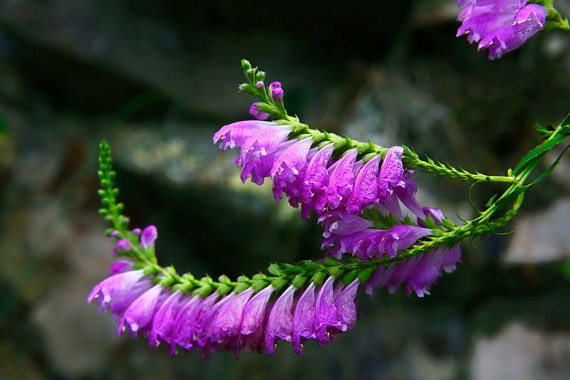 Obedient Plant (Physostegia virginiana)- Ouachitas of Arkansas