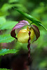 Kentucky Lady Slipper - Queen Wilhelmina State Park - April 22, 2017