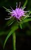 Ouachita blazing star (Liatris compacta) RARE