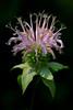 Horse Mint Flower - Ouachitas