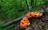 Sulpher Shells - Laetiporus - Queen Wilhelmina State Park - April 22, 2017
