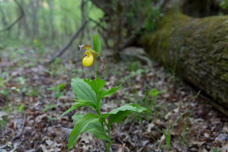 Small Yellow Lady's-Slipper - Ouachitas of Arkansas  Cypripedium parviflorum var. parviflorum  April 10, 2017