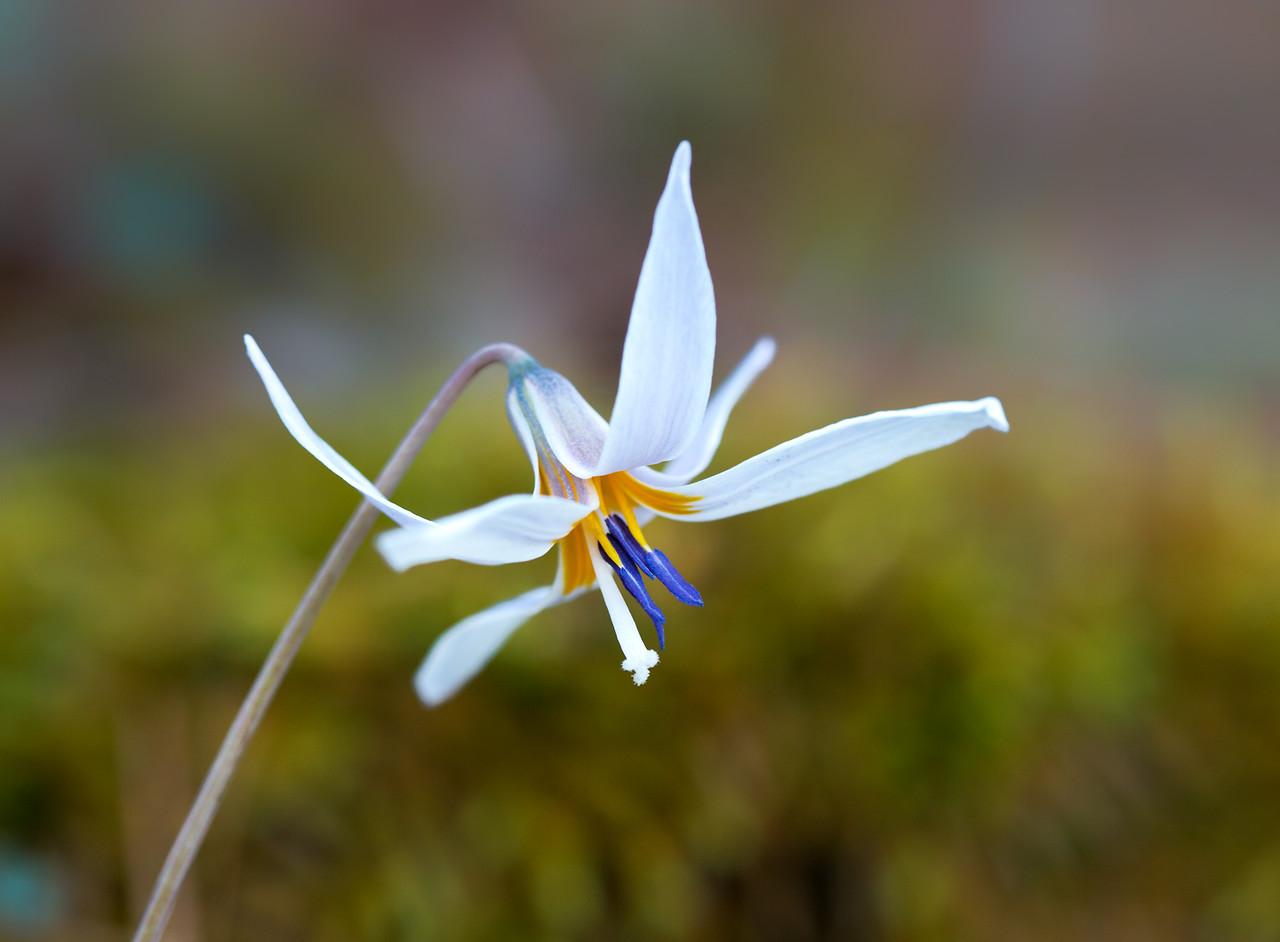 Prairie Trout Lily - Cossatot River State Park - Arkansas 2018