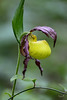 Kentucky Lady Slipper
