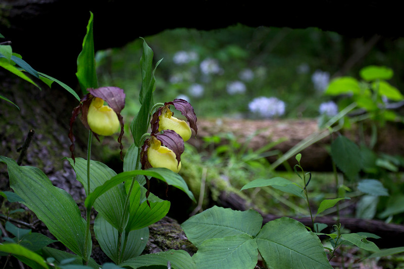 Kentucky Lady Slippers, Browns Water Leaf and Trillium all Framed in Nature - May 5, 2016