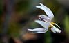 Prairie Trout Lily - White stamen -  Ouachitas of Arkansas