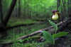 Kentucky Lady Slipper - New Location in the Ouachitas