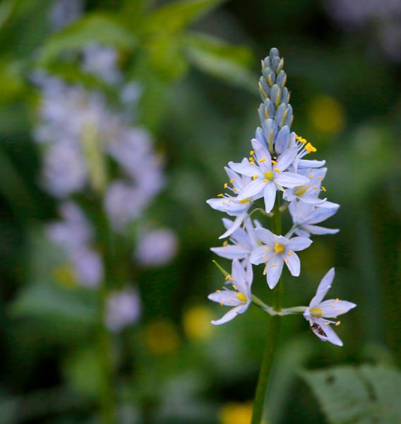 Wild Hyacinth - Ouachitas alon the Ouachita River