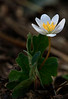 Bloodroot - Ouachitas of Arkansas