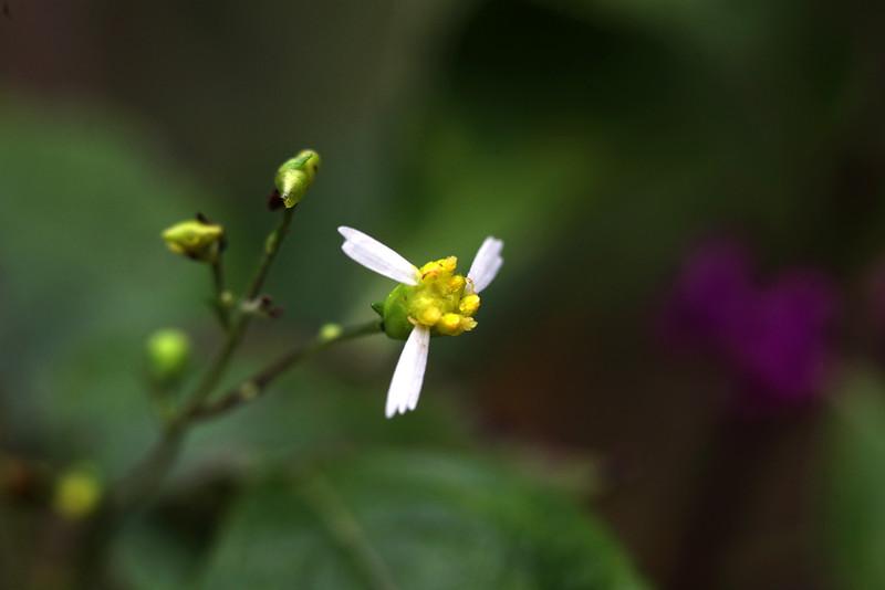 Cossatot Leafcup - An Arkansas Endemic. Very rare! — at Ouachita Mountains.