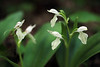 Showy Orchis  (White Form)