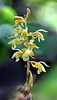 Spiked Crested Coralroot (Hexalectris spicata) - Arkansas - Yellow Version
