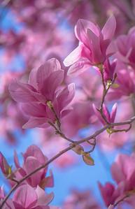 Saucer Magnolia 6