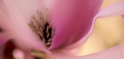 Saucer Magnolia 9