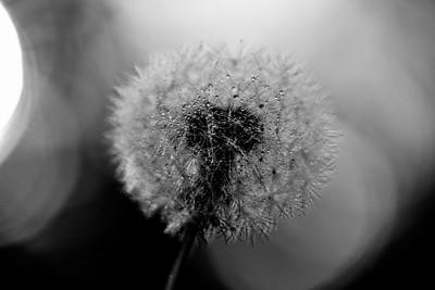 Dandelion 17