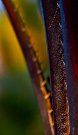 Thorn Palm