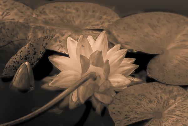 Lily Pond 10