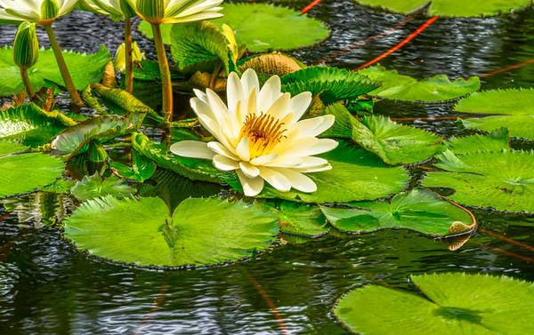 Lily Pond 39