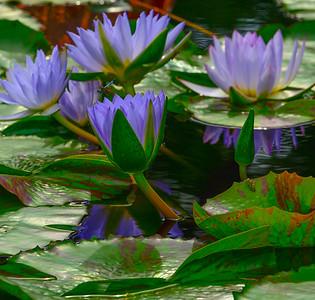 Lily Pond 16