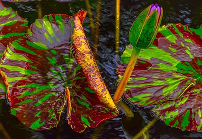 Lily Pond 14