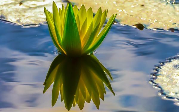 Lily Pond 8