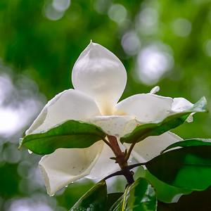 Manolia Tree 13