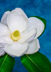Magnolia 89