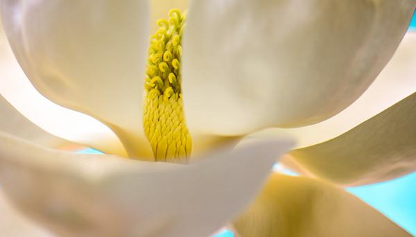 Magnolia 64