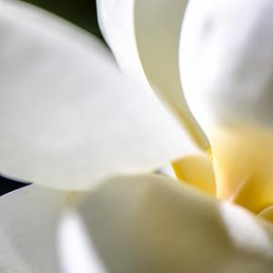 Magnolia 80