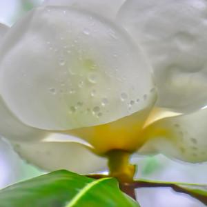 Magnolia 6