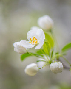 Apple Blossom 14