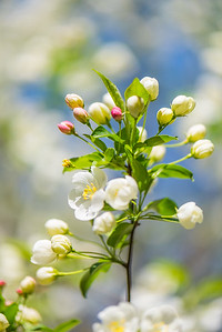 Apple Blossom 13