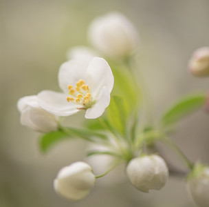 Apple Blossom 12