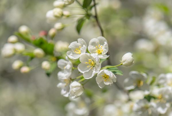 Apple Blossom 10