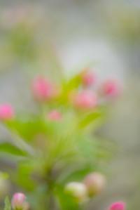 Apple Blossom 17
