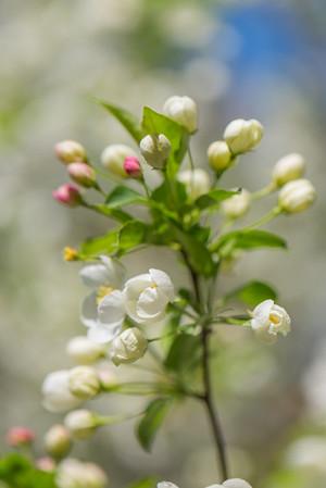 Apple Blossom 8