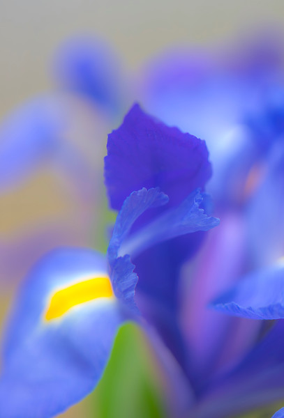 BLUE IRIS   1