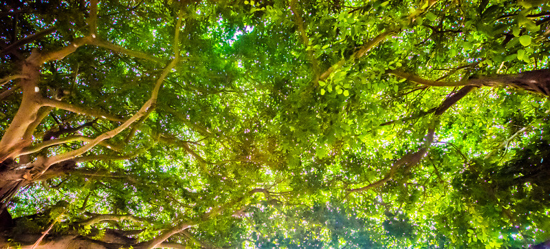 Banyan Tree 17