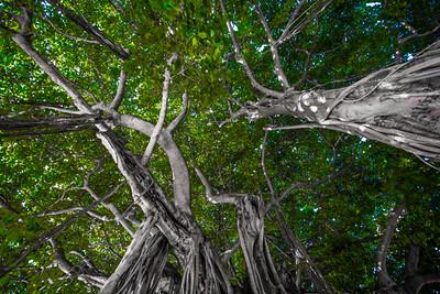 Banyan Tree 11